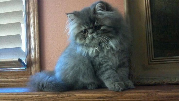 Richard, the  Persian kitten