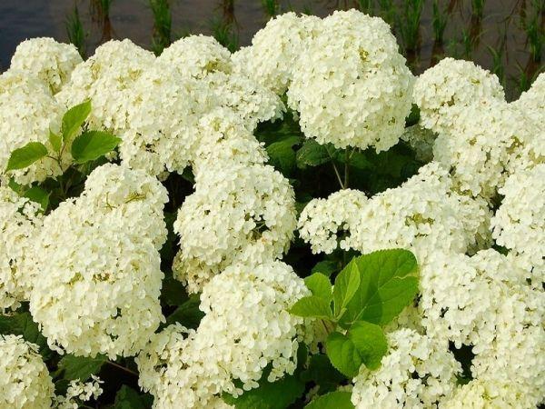 Древовидная белая гортензия для сада