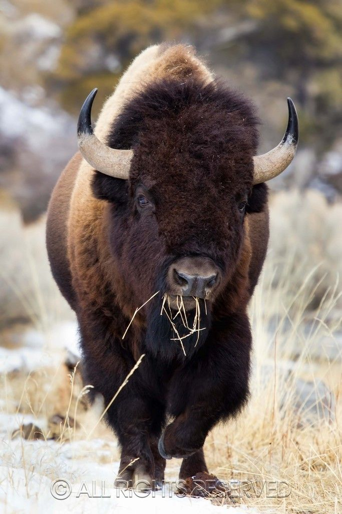 Bison | Montana Wildlife. The same wildlife they slaughter in the thousands each winter as they leave Yellowstone.