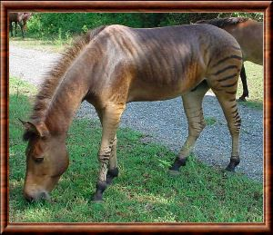 zebroide o zebrallo o zorse (da zebra e horse)
