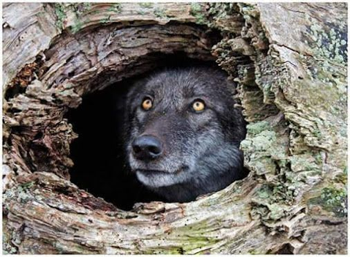Peek a boo from this old rotten log says this beautiful golden eyed wolf!