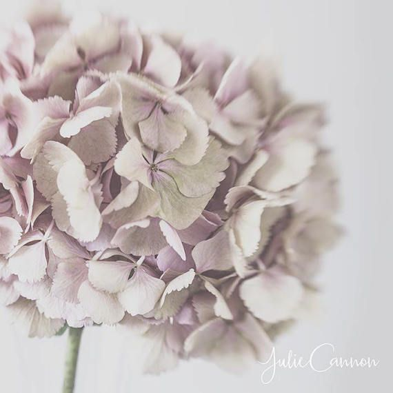 Photography Print  Pink hydrangea flower   shabby chic by JCannonPhotography