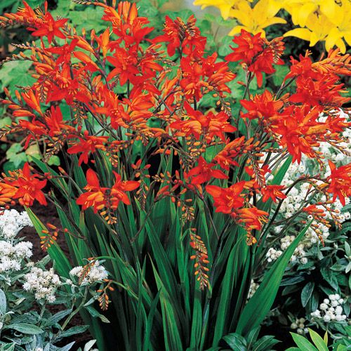 Fire King Crocosmia Gracefully Arching Stems Bloom With