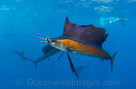 30 Best Images About Sailfish Reference On Pinterest