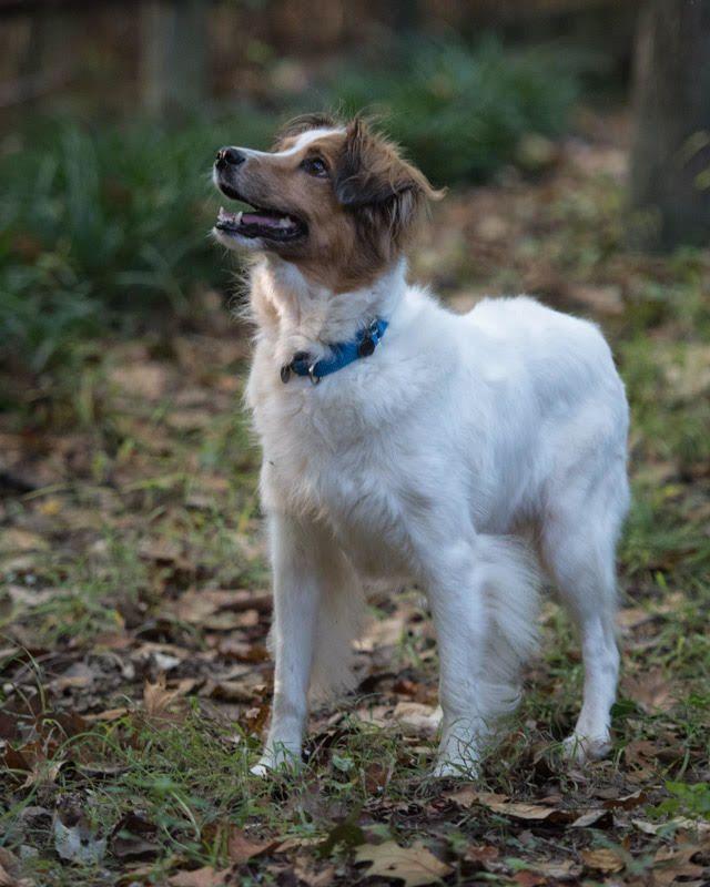 Adopt Leia On Sheep Dog Puppy Shetland Sheepdog Shetland