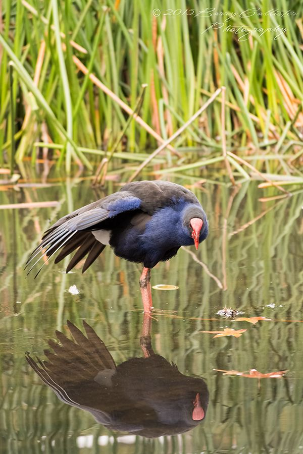 A Water Hen checks its reflection at Emerald Lake in Victoria, Australia.