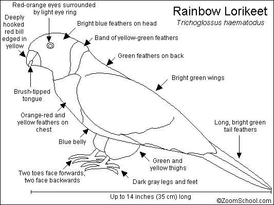 Rainbow Lorikeet Printout- EnchantedLearning.com