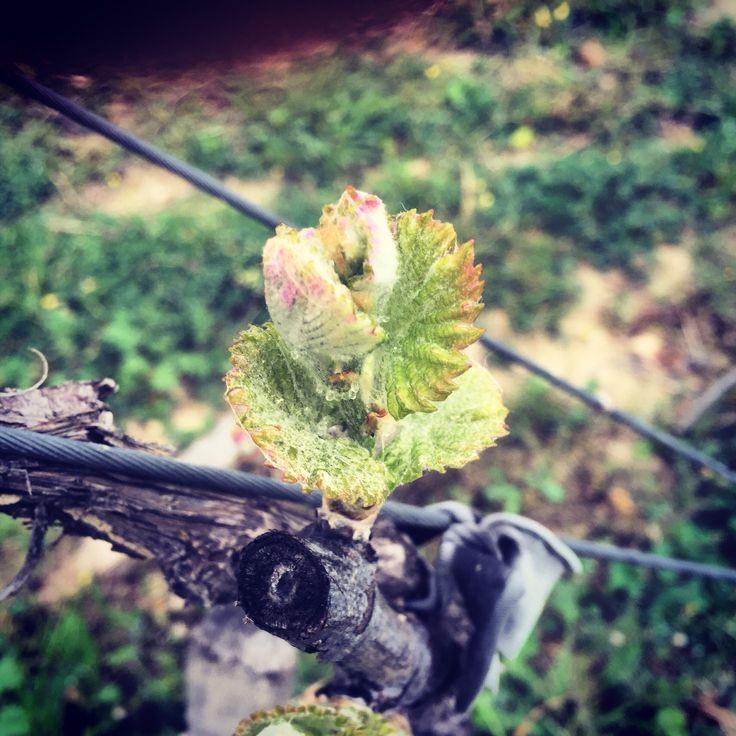 Le printemps arrive dans les vignes avec deux semaines d'avance... La Syrah sort ses premières feuilles.