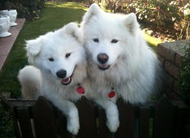 Sandy's Samoyed dogs in her homestay in Avonhead, Christchurch.