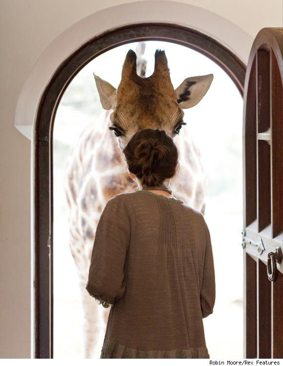 Giraffe Manor in Kenya: Where Guests Live Among World's Tallest Creatures (with video)  http://www.luxist.com/2011/03/09/giraffe-manor-in-kenya-where-guests-live-among-worlds-tallest/