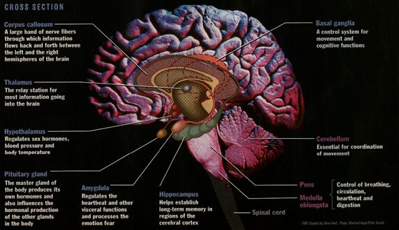 lobes and their functions | ... know the locations and functions of these labeled parts of the brain