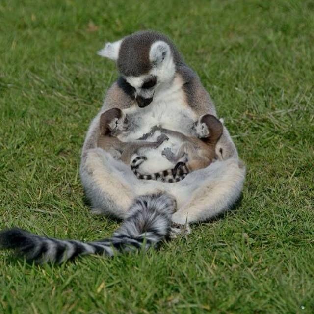 Ring tailed lemur baby sale - photo#18