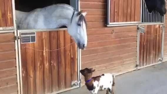 Baby goat introduces himself to a horse - 9GAG