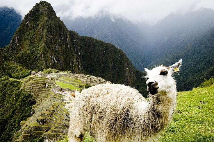 Hangin' with the llamas at Machu Picchu
