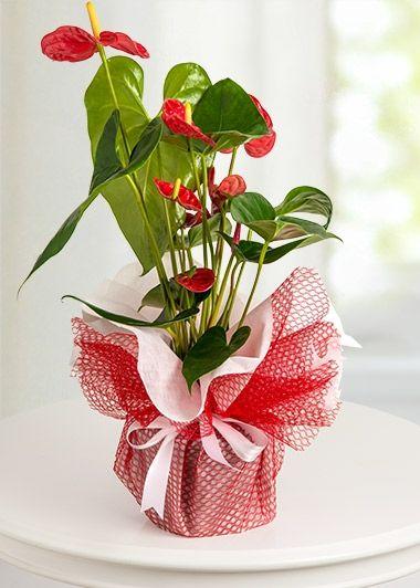 Saksıda kırmızı antoryum.. Sevdiklerinize armağan edin. http://www.demetcicekcilik.com/?pg=urunler&k=37&t=%20SAKSI%20%C7%DD%C7EKLER%DD%20.html