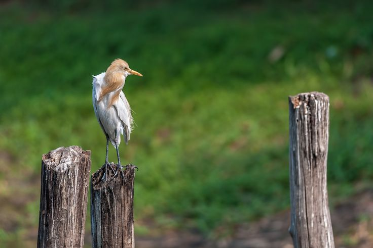 Cattle Egret, perched on a wooden pole in green background, copy space