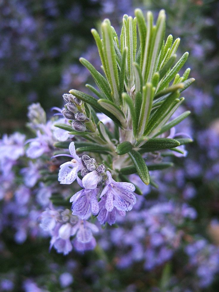 Flowering Rosemary Natural mosquito repellent plants