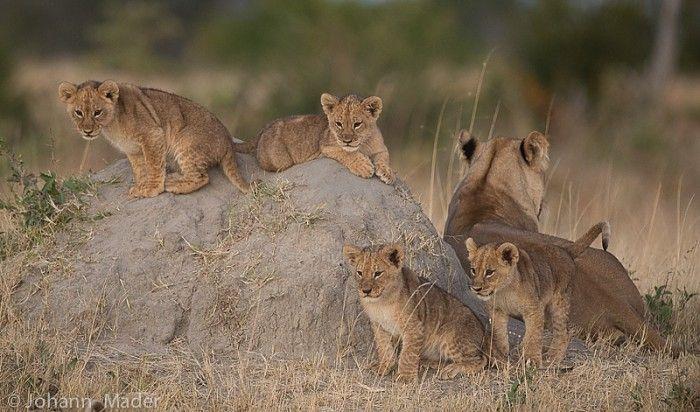Cecil's grand-cubs #Zimbabwe #safari