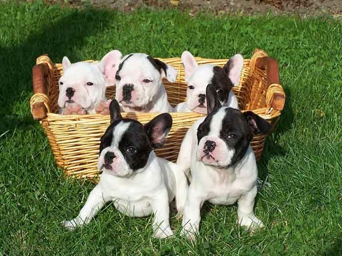 Los cachorros de bulldog francés son muy cariñosos. #perros #razas #dogs #puppies #cachorro #bulldog frances