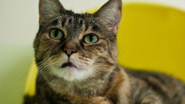 Come gestire l'alimentazione domestica del gatto: le tabelle con le dosi