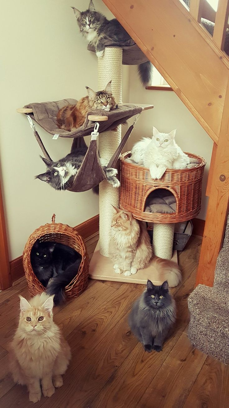 What an amazing group of longhairs. Tufts and toe floof rule with Maine Coons.