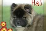 Akita Puppies For Sale - Puppy Breeders