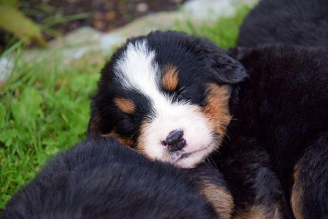 Berner Sennenhund Welpen Einfach Zum Liebhaben Berner Sennenhund Welpe Hunde Sennenhund