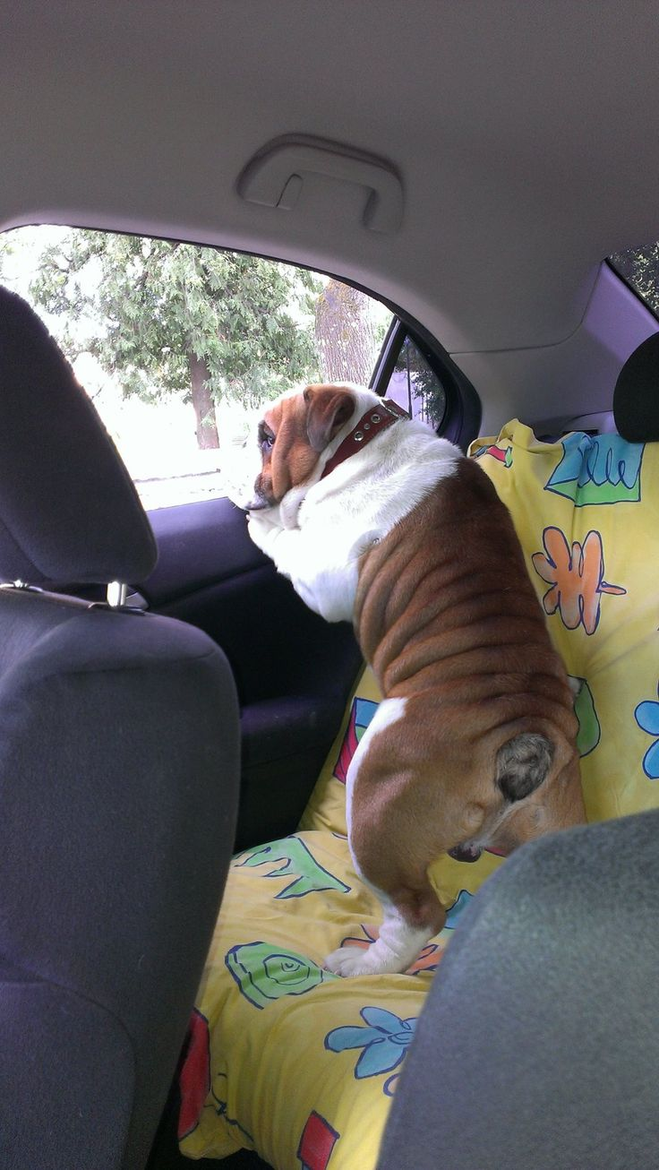 Most Inspiring English Bulldog Chubby Adorable Dog - f235da907a4c1b60a5a69b76dc1c1827--bulldog-puppies-fat-puppies  2018_435084  .jpg