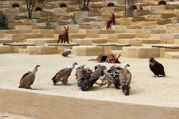 Les vautours sont de plus en plus à l'aise dans leur nouvel amphithéâtre ! Venez assister tous les jours à 15 h à leur repas, vous serez stupéfaits par la frénésie que ces charognards déploient pour se rassasier !