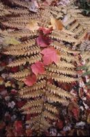 What Is a Red Fern Plant? thumbnail