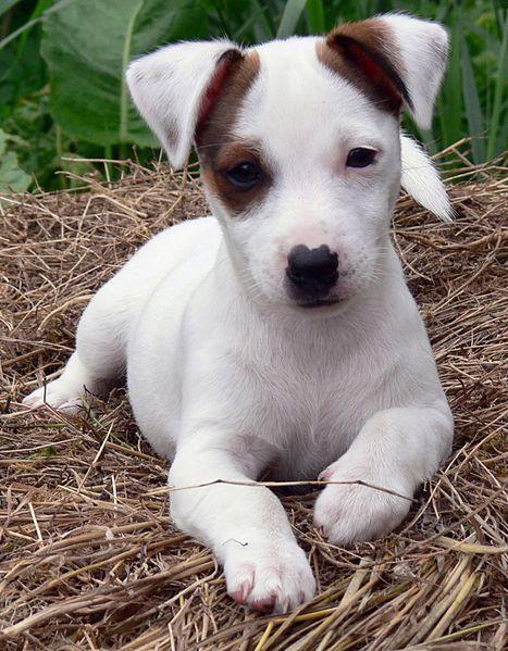 File:Jack Russell Puppy Eddi.JPG by Steve-65