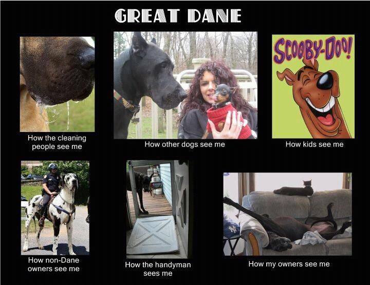 Great Danes the last picture perfectly describes typical Danes lol