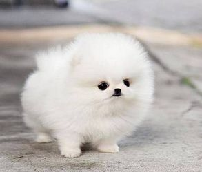 "a Game of Thrones where the Starks have teacup pomeranians instead of direwolves  ""that one's yours, Jon Snow"""