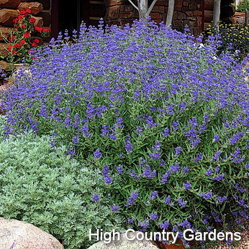 """Caryopteris clandonensis 'Dark Knight' Blue Mist Spirea: 3-4' x 4' wide. Tidy, upright growth habit and profusion of flowering spikes. A reliable performer, """"Dark Knight"""" flowers heavily every year."""
