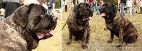 Varias imágenes de un Mastiff (Mastín Inglés) mostrando sus características físicas. Raza de perros (Several images of an English Mastiff showing their physical characteristics. Breed of dog)