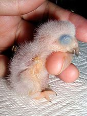 One day old Congo African Grey Parrot