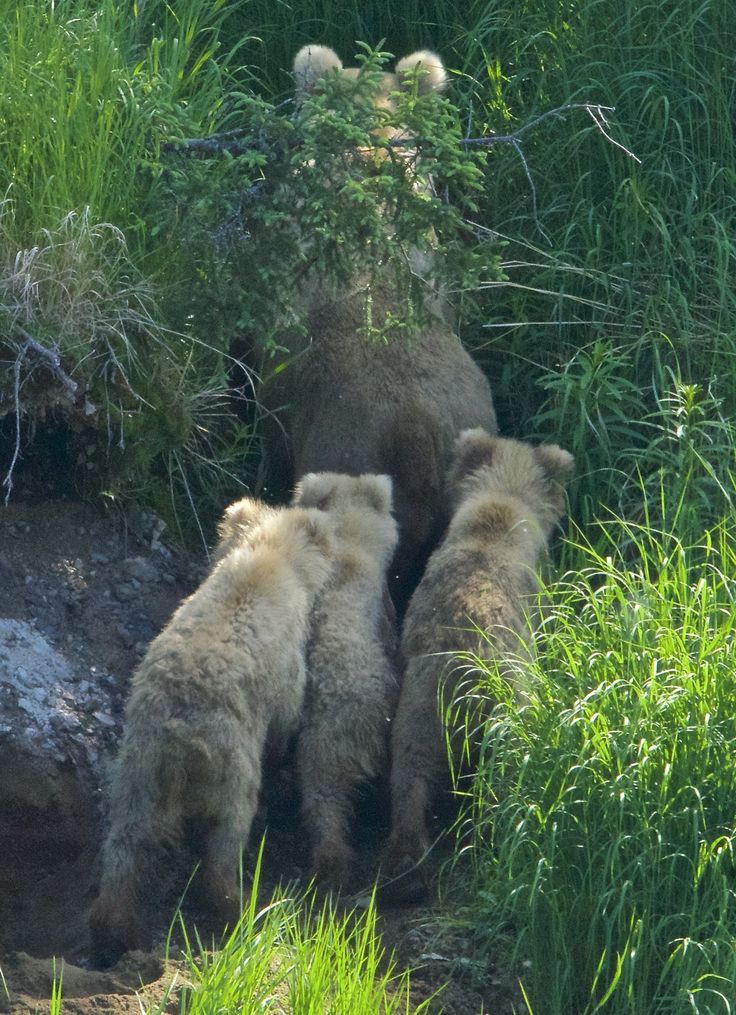"""Come on boys, we need to follow those two glowing beacons."" Grazer (#128) and cubs."