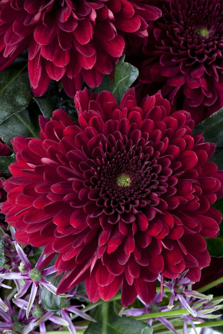 From the Language of Flowers, as a birthday month, Chrysanthemums are for November and symbolise cheerfulness and love.