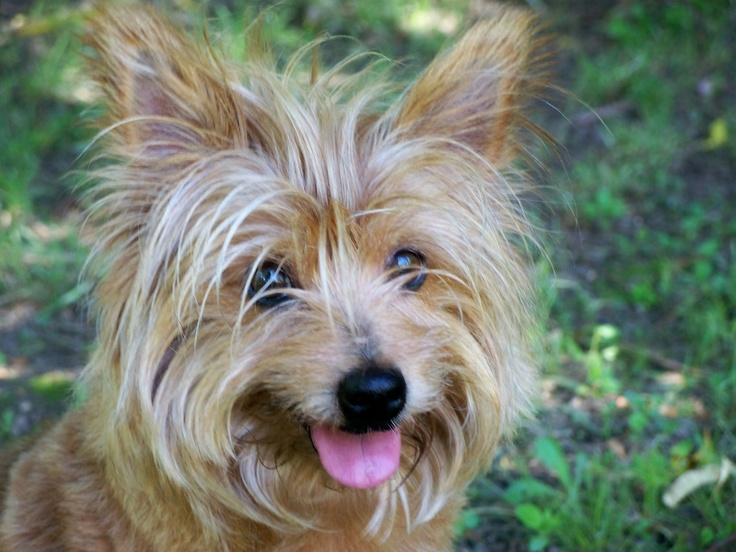 silky terrier temperament 1000 images about australian silky terrier on pinterest 2101