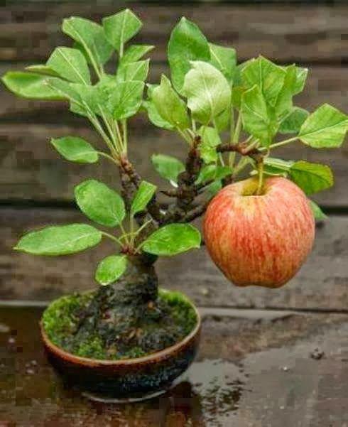 bonsai apple tree