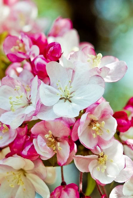 Mom had apple trees and plum trees in her life and she loved them .