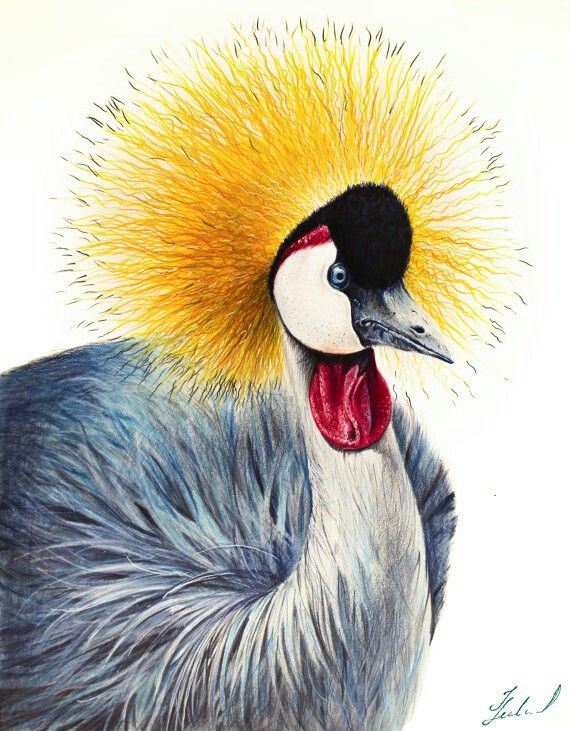 Grey Crowned Crane Original Colored Pencil Drawing