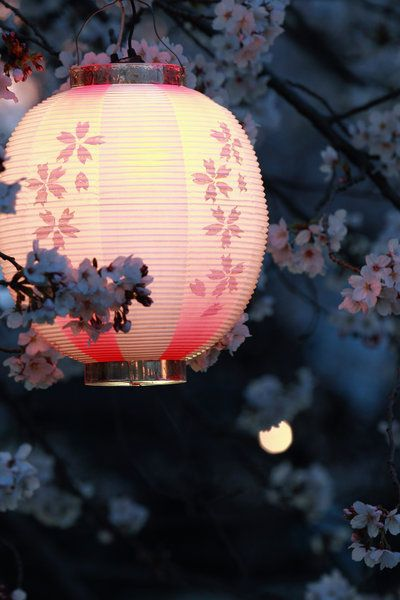 A close up of a traditional Japanese paper lantern & cherry blossoms. Like it or not, it is still a magical combination to behold.