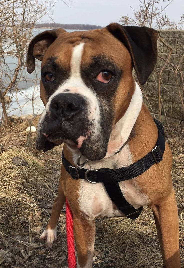 Boxer dog for adoption in woodbury mn adn483208 on