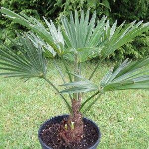 les 12 meilleures images du tableau plantes rustique exotique tropicale sur pinterest plantes. Black Bedroom Furniture Sets. Home Design Ideas