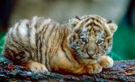 Luv this cute tiger cub