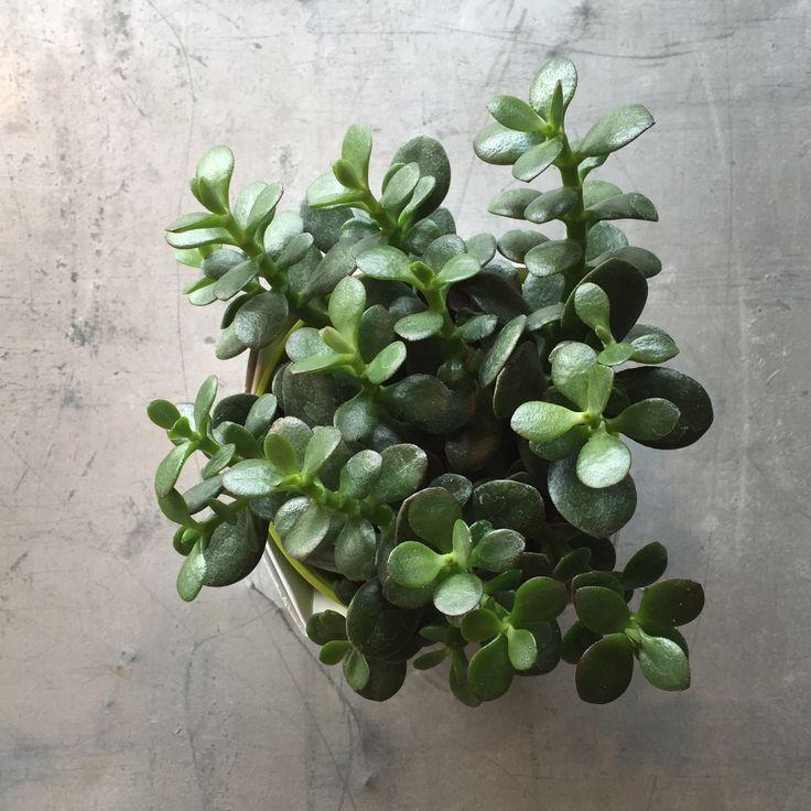 Les 98 meilleures images du tableau crassula sur pinterest for Plante crassula