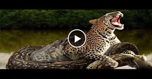 1000+ ideas about Giant Anaconda on Pinterest | Snake ...