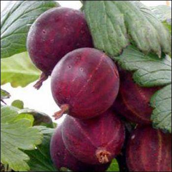 Karviainen 'Lepaan Punainen'Ribes Uva-crispa 'Lepaan Punainen'