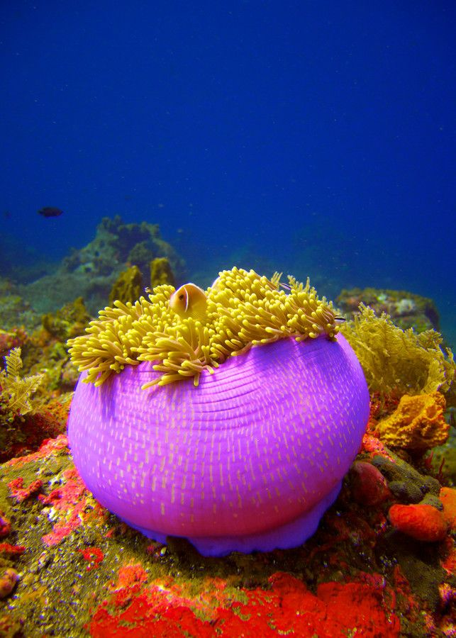 Pink skunk clownfish (Amphiprion perideraion) in it's balled-up home anemone. #Bali #underwater